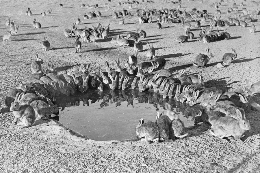 Rabbits around a water trough. This photo was taken under controlled conditions during myxoma virus trials on Wardang Island off South Australia in 1938. Photo credit: M W Mules