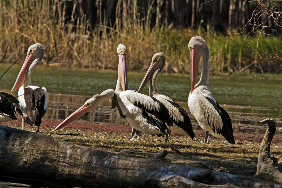 Pelicans at Barmah National Park, Victoria