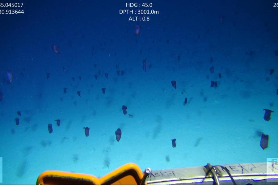 Purple sea cucumbers swimming by a remotely-operated vehicle at a depth of 3000m in the Great Australian Bight.